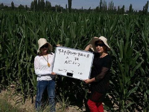 甘州区种子管理局开展2017年杂交玉米种子花期质量检查工作