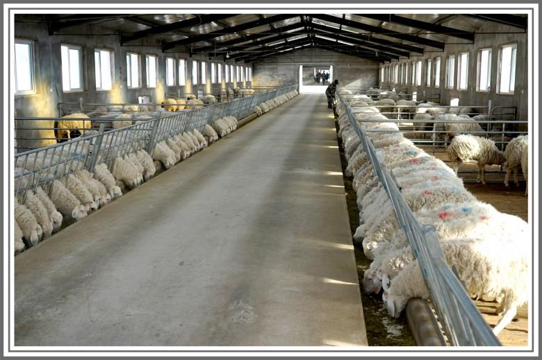 金利公司建成的高标准羊舍