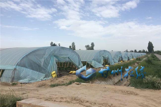 """甘州区党寨镇:现代设施农业成为菜农的""""绿色银行"""""""