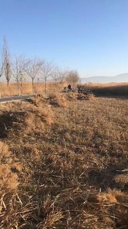 张掖国家湿地公园芦苇清割工作有序进行