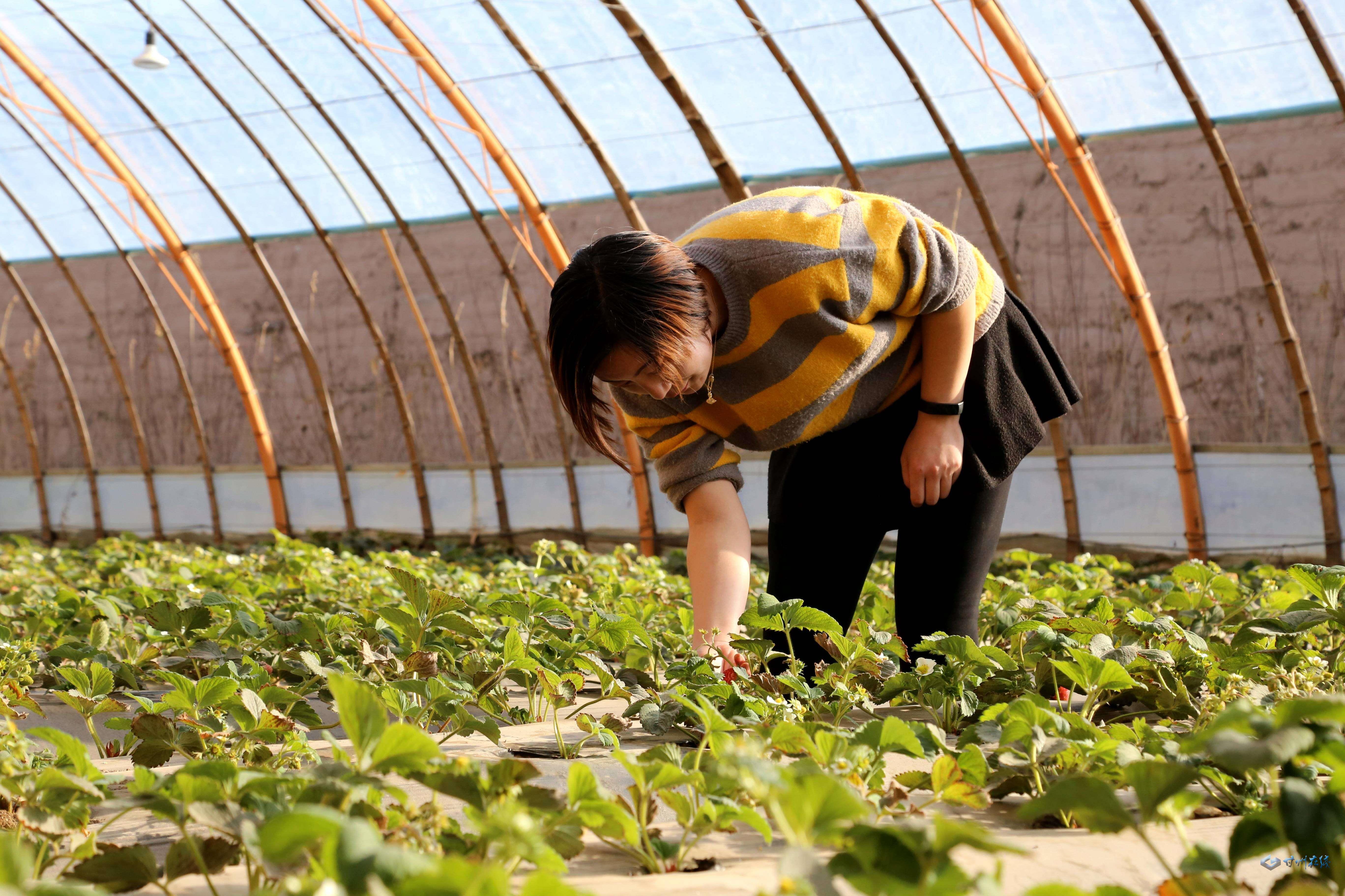 张掖:冬日草莓红 游客采摘乐