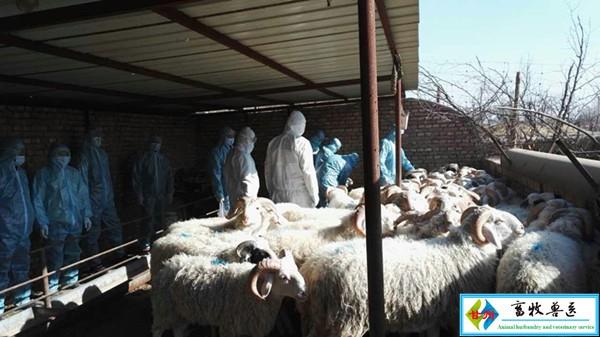 长安镇畜牧站开展羊布病防疫试点工作