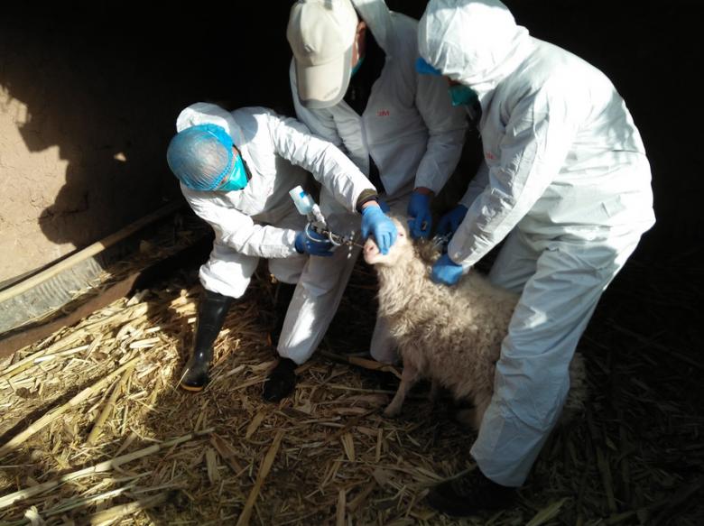 我区靖安乡全面开展春季重大动物疫病防控暨羊布病强制免疫工作