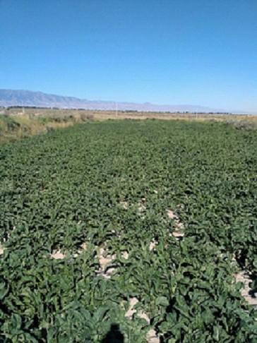 甘州区安阳乡五一村中药材紫菀种植成功